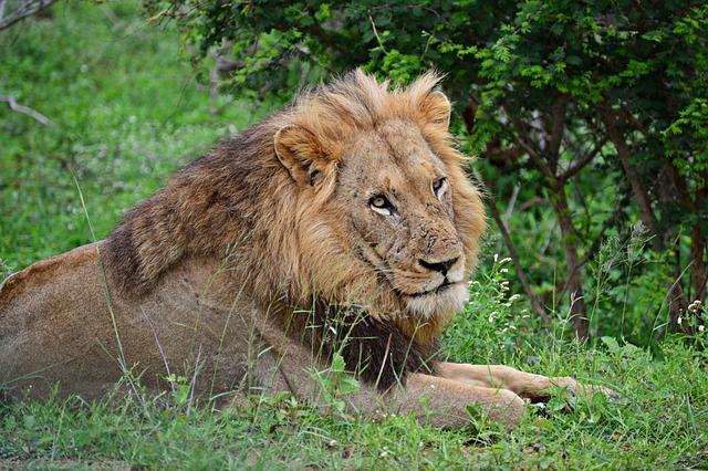 Lion, Wildlife, Animals, Africa, Nature, Predator, Cat