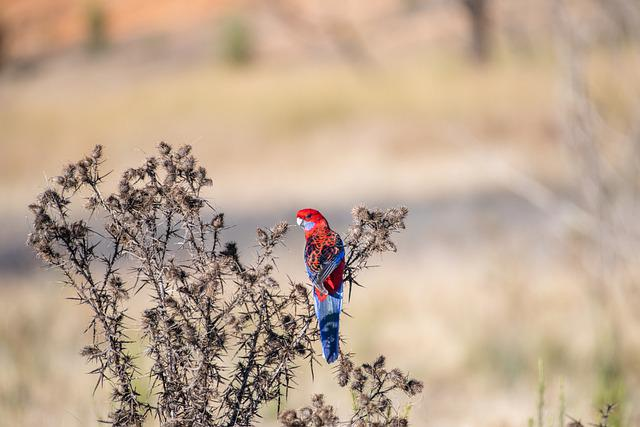 Crimson Rosella, Bird, Avian, Wildlife, Wild
