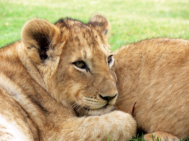 Lion, Lion Cub, Cub, Big Cat, Cuddled, Wildlife, Africa