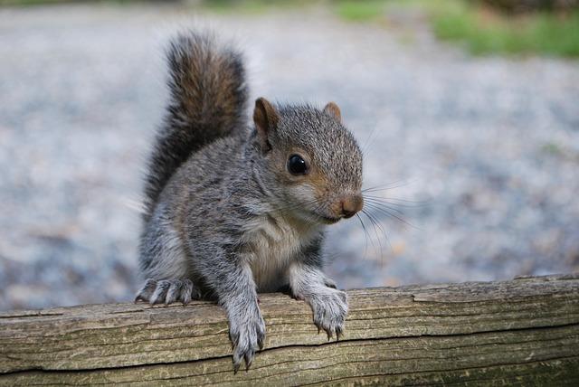 Squirrel, Squirrel On Fence, Nature, Cute, Wildlife