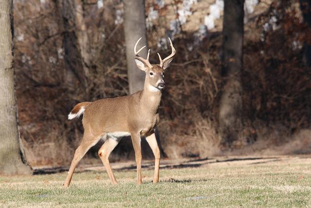 Deer, Buck, Wildlife, Animal, Nature, Male, Whitetail
