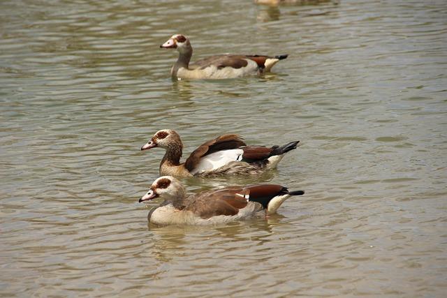 Duck, Bird, Water, Wildlife, Waterfowl