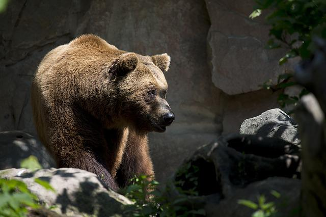 European Brown Bear, Wildlife, Ursus, Arctos, Mammal
