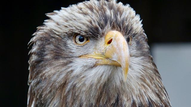 Wildlife, Raptor, Eagle, Bird, Nature, Eye, Beak