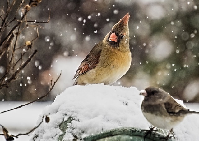Cardinal, Female Cardinal, Bird, Wildlife, Outdoors