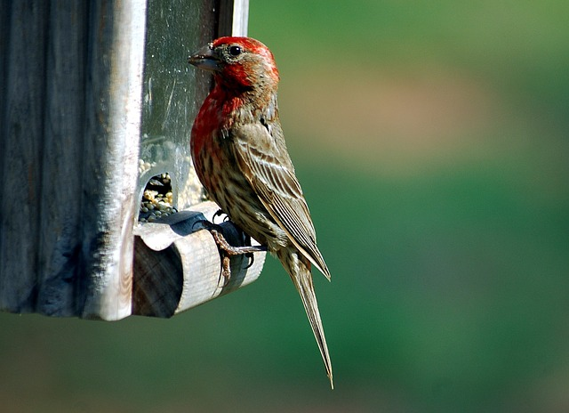 Red Headed Finch, Finch, Bird, Avian, Wildlife, Feeder