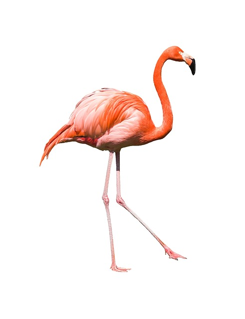 Flamingo, Bird, Feather, Wildlife, Beak, Neck, Exotic