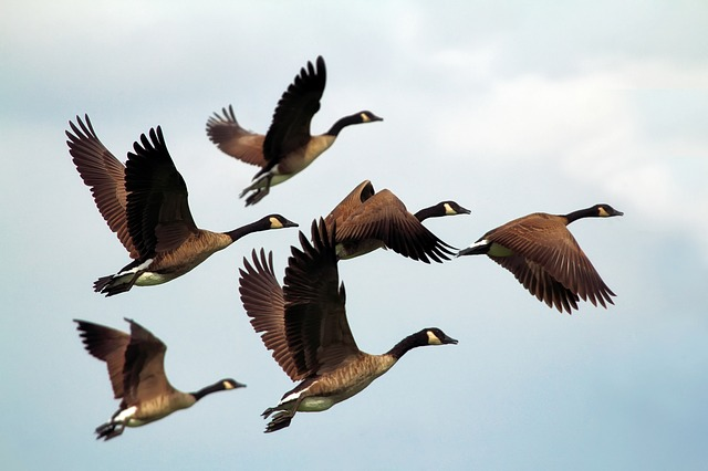 Geese, Birds, Flock, Wildlife, Flying, Formation, Sky