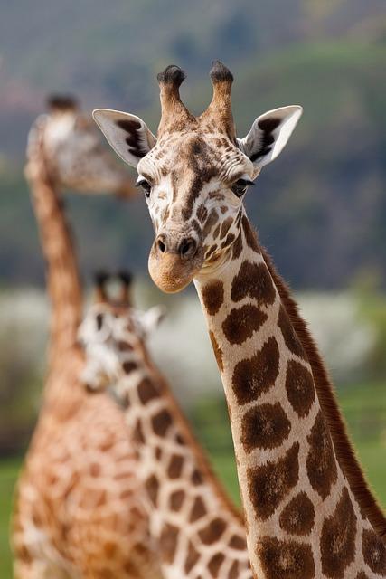 Giraffe, Animal, Safari, Mammal, Herbivore, Wildlife