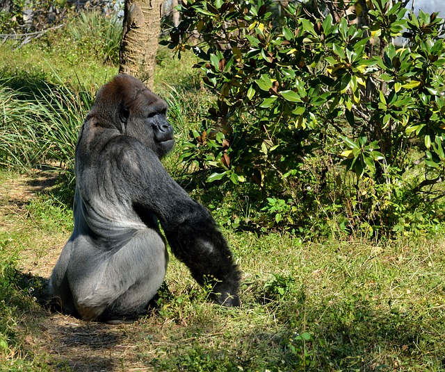 Silver Back, Gorilla, Ape, Primate, Wildlife, Mammal
