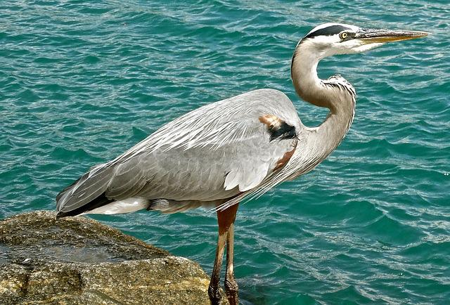Great Blue Heron, Wildlife, Bird, Nature, Ocean