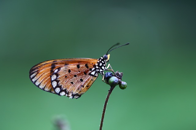 Insect, Butterfly, Nature, Wildlife, Animal