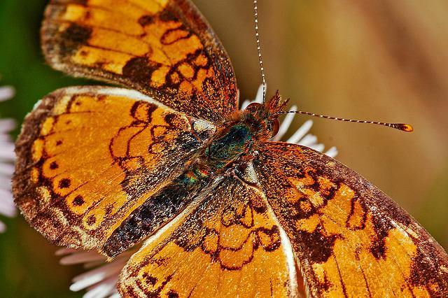 Butterfly, Macro, Insect, Nature, Wildlife, Delicate