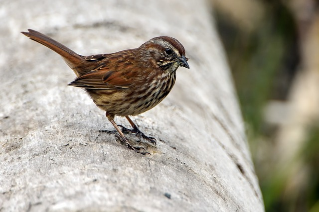 Bird, Sparrow, Wildlife, Isolated, Brown, Nature