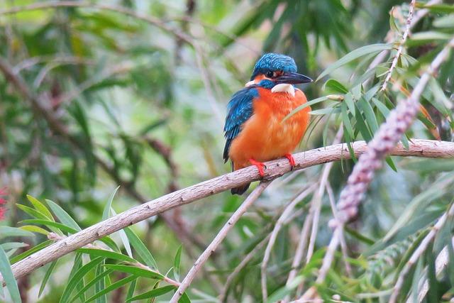Kingfisher, Bird, Nature, Wildlife, Animal, Outdoor