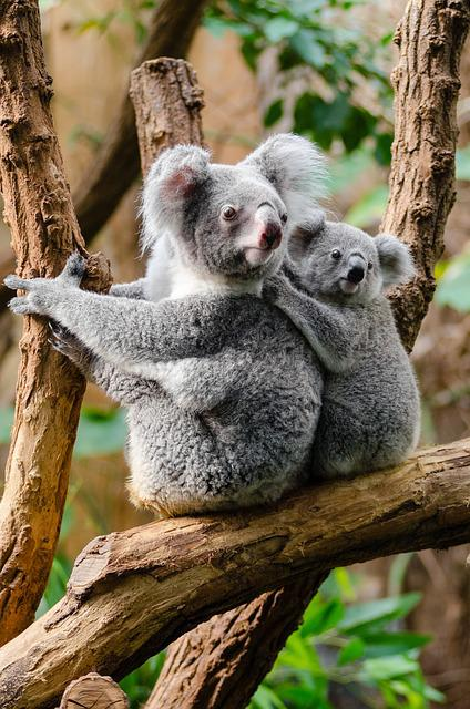 Animals, Branch, Cute, Furry, Koalas, Tree, Wildlife