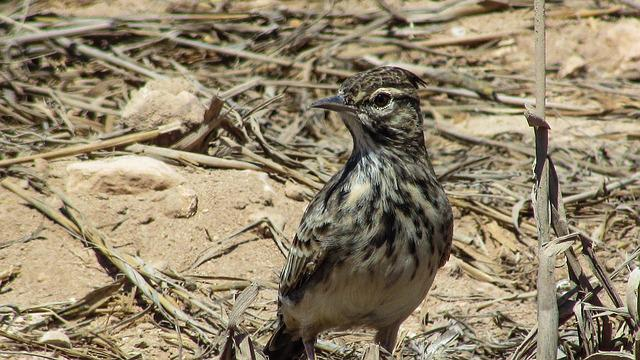 Lark, Bird, Animal, Wildlife, Fauna, Nature, Wild