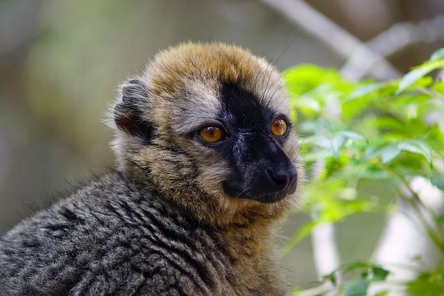 Lemur, Madagascar, Nature, Wildlife, Mammal, Animal