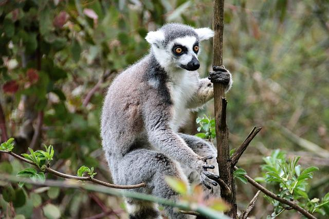 Lemur, Monkey, Wild, Mammal, Nature, Animal, Wildlife