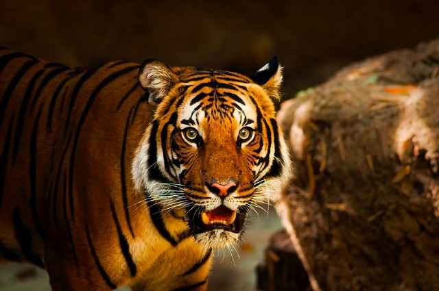 Tiger, Animal, Wildlife, Macro, Closeup, Predator