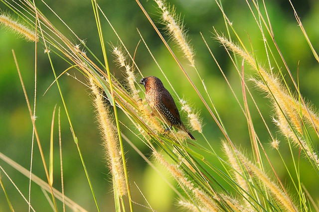 Scaly-breasted, Munia, Bird, Wild, Wildlife, Nature