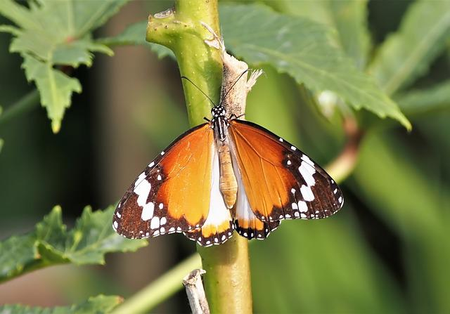 Butterfly, Insect, Nature, Outdoors, Wildlife, Garden