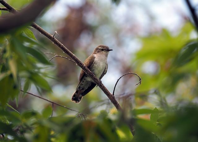 Perched Plaintive Cuckoo, Wild, Bird, Wildlife, Cuckoo