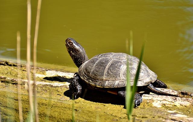 Turtle, Water Turtle, Animal, Wildlife Photography