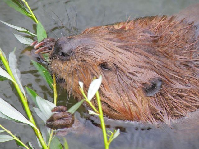 Beaver, Rodent, Wildlife Photography