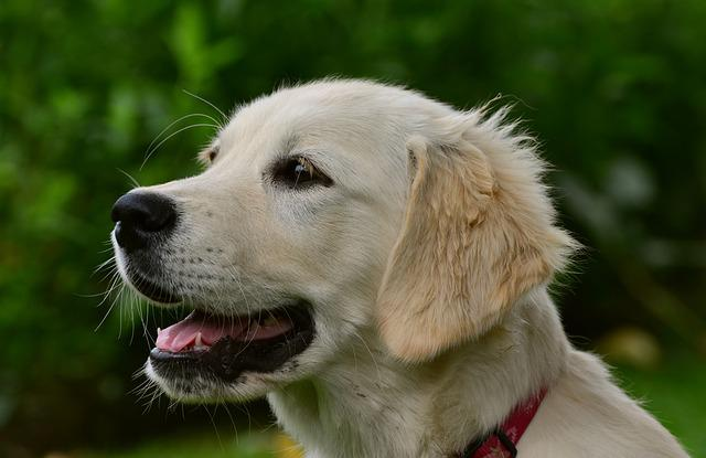 Dog, Golden Retriver, Retriever, Wildlife Photography