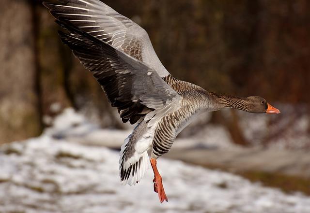 Goose, Fly, Flight, Water Bird, Wildlife Photography