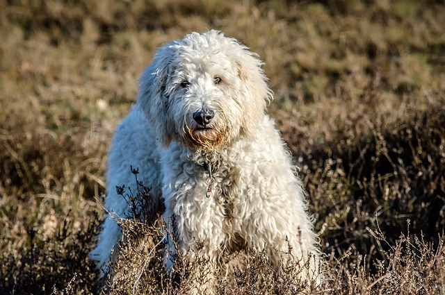 Dog, Goldendoodle, Hybrid, Nature, Wildlife Photography