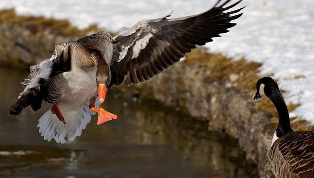 Goose, Water Bird, Wildlife Photography, Animal World