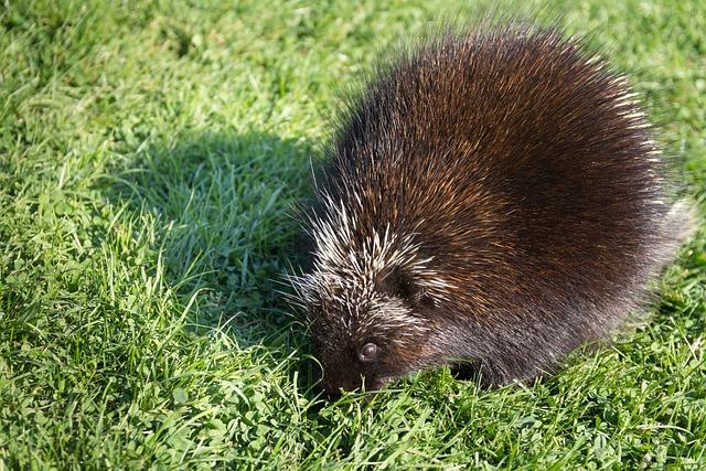 Porcupine, Animal, Wildlife, Canadian Animal