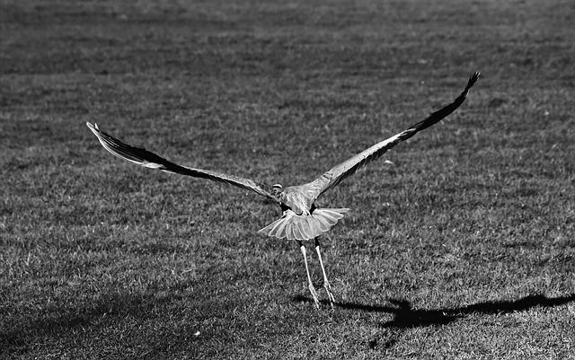 Heron, Wading Bird, Predator, Wildlife, Flight, Flying