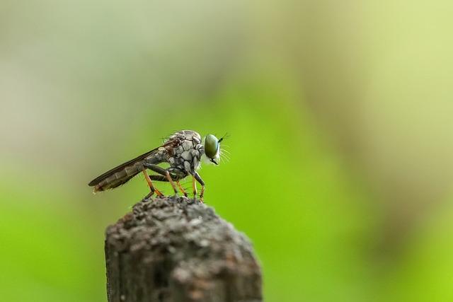 Robberfly, Insect, Macro, Animal, Predator, Wildlife
