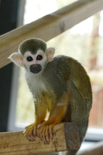 Spider Monkey, Monkeys, Primate, Face, Wildlife, Nature
