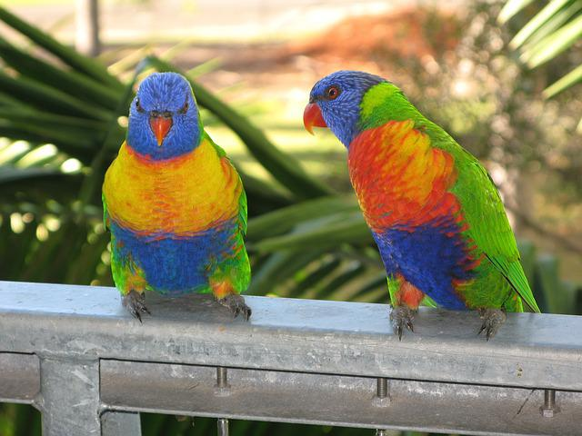 Rainbow Lorikeet, Bird, Lorikeet, Colorful, Wildlife