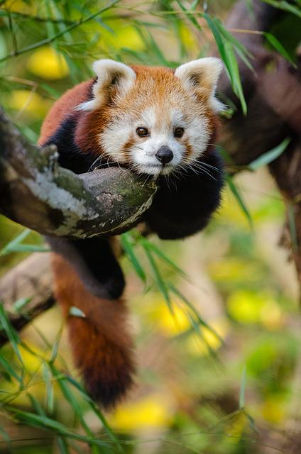 Animal, Cute, Red Panda, Tree, Wildlife, Zoo