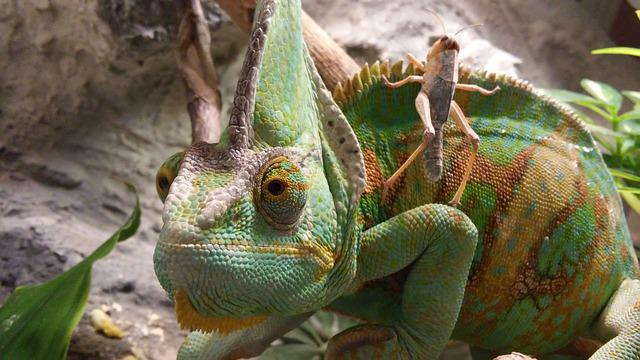 Chameleon, Insect, Lizard, Outdoors, Reptile, Wildlife