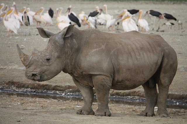 Rhino, Kenya, Africa, Rhinoceros, Animal, Big, Wildlife