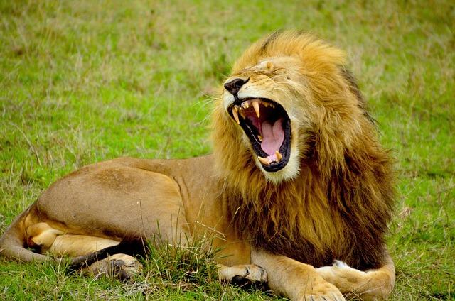 Lion, Male, Animal, Wildlife, Africa, Safari, Roar