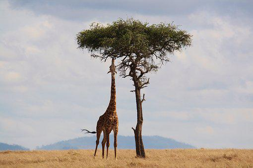 Giraffe, Kenya, Africa, Wildlife, Safari, Neck, Tall