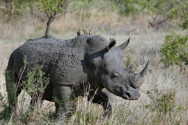 Animal, Grass, Horn, Rhinoceros, Savanna, Wildlife