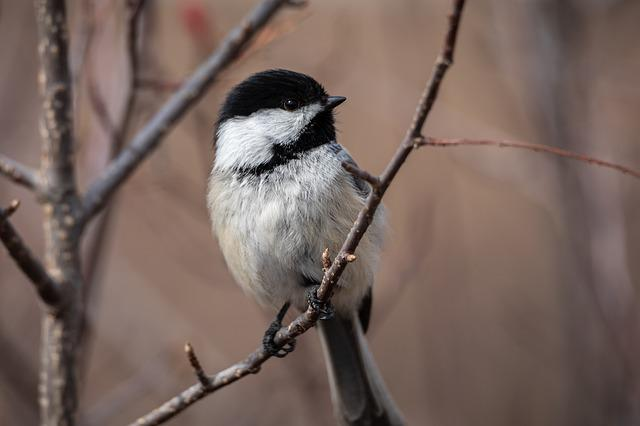 Wildlife, Nature, Birds, Small, Chickadee, Animal, Wild