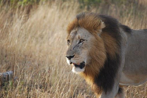 Lion, South Africa, Safari, Africa, Wildlife, Travel