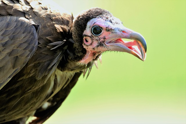 Hooded Vulture, Vulture, Hooded, Animal, Wildlife