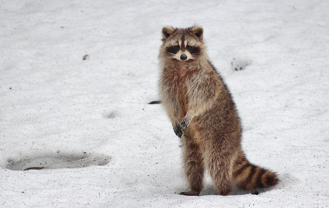 Racoon, Animal, Snow, Raccoon, Mammal, Wild, Wildlife