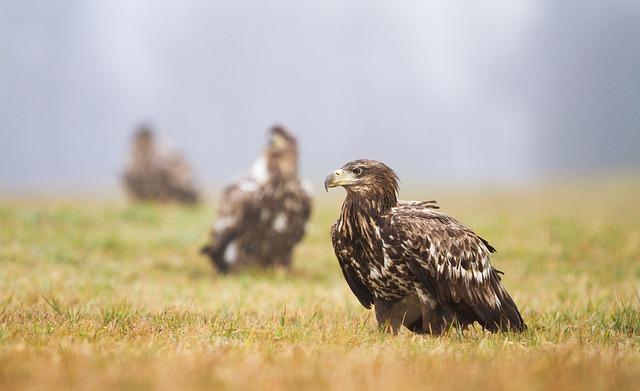 Eagles, White Eagle, Birds, Wildlife, Wild, Freedom