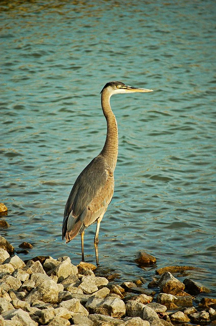 Nature, Bird, Water, Wildlife, Outdoors, Lake, Wild